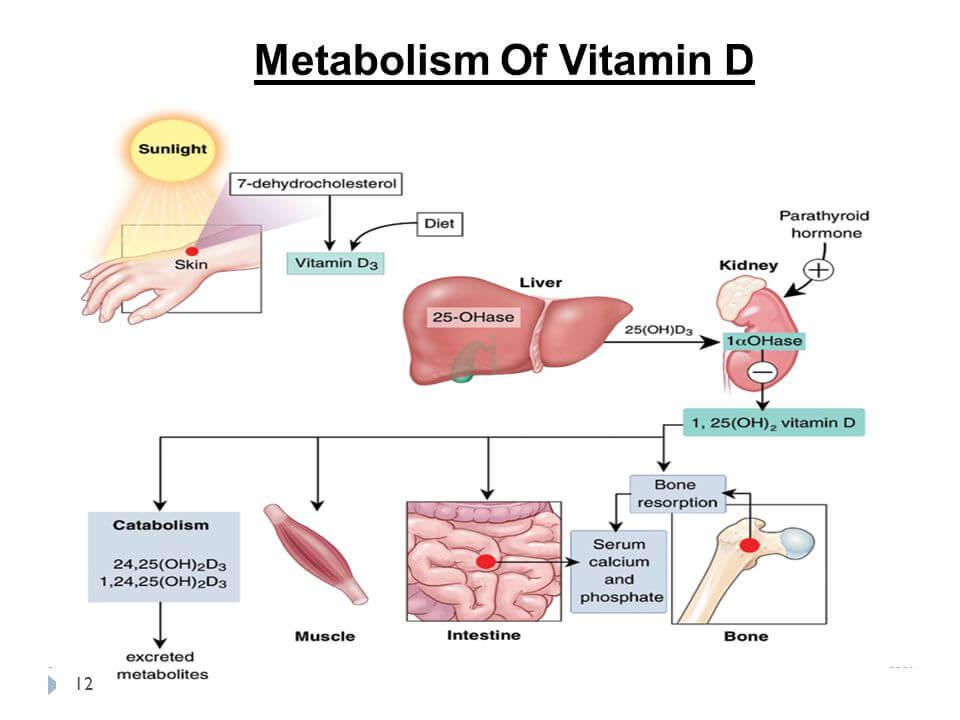 إنفوجراف يوضح مراحل التمثيل الغذائي لفيتامين د